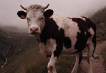 10 Ways To Deal With Sacred Cows In Your Church